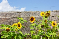 sunflowers in the background of thatched roof