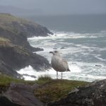 Seagull at Dingle Peninsula April '10