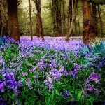 In and out the dusty bluebells by Hartney Photography - copyright http://www.hartneyphotographics.com
