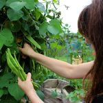 Fionnuala picking runner beans for me